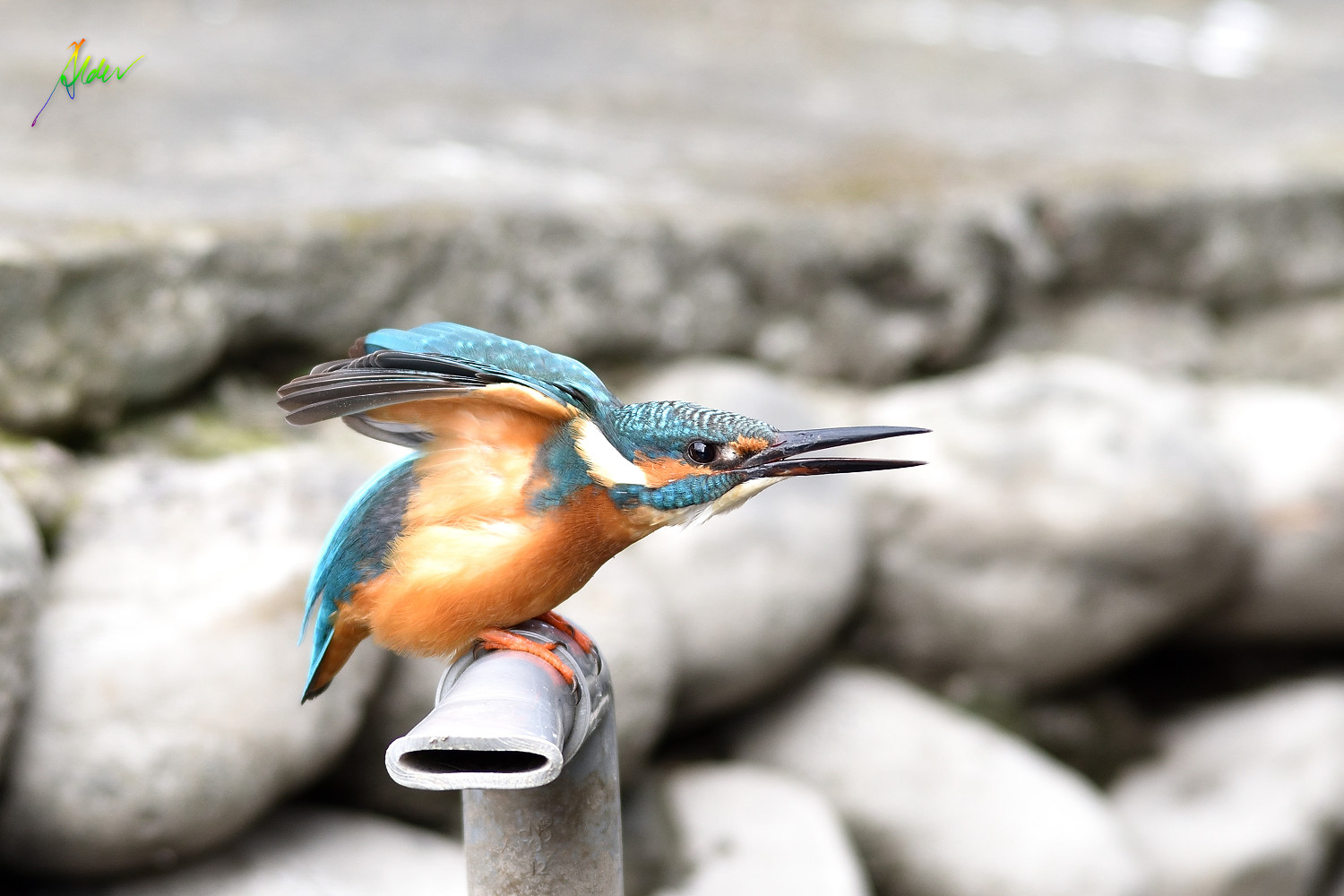Common_Kingfisher_1716