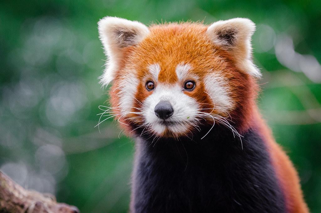 red panda just got - photo #12