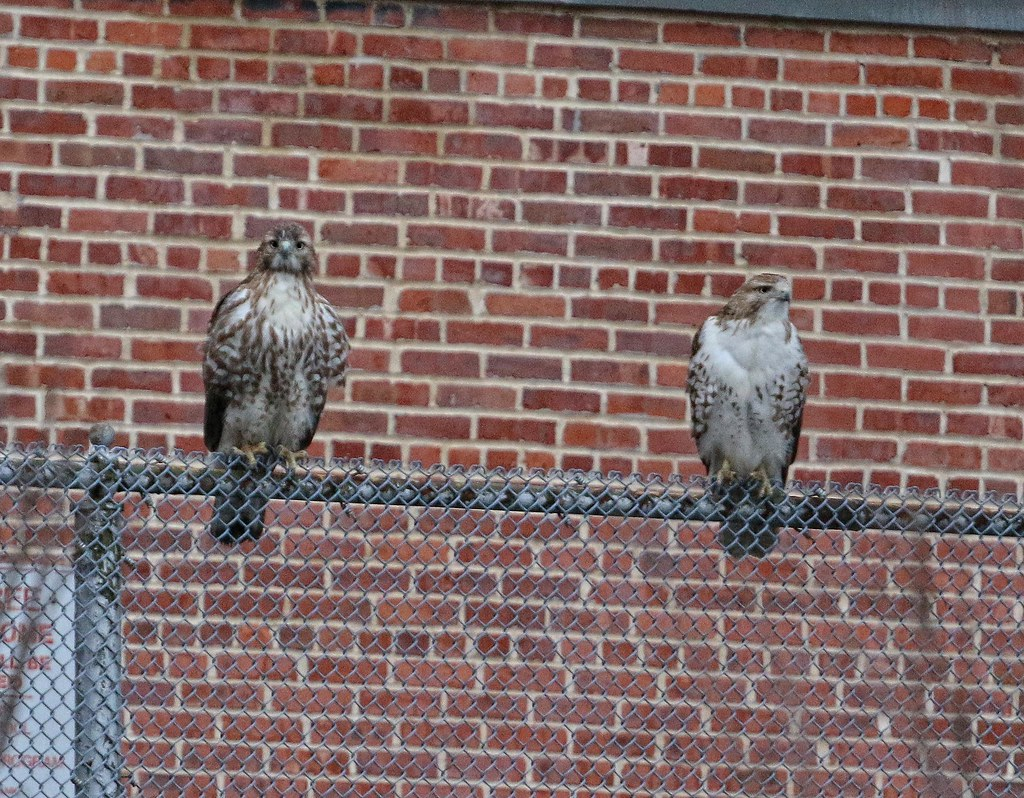 Juvenile red-tail pair