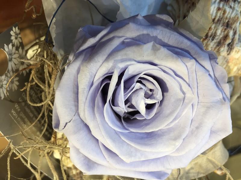 Pale blue rose