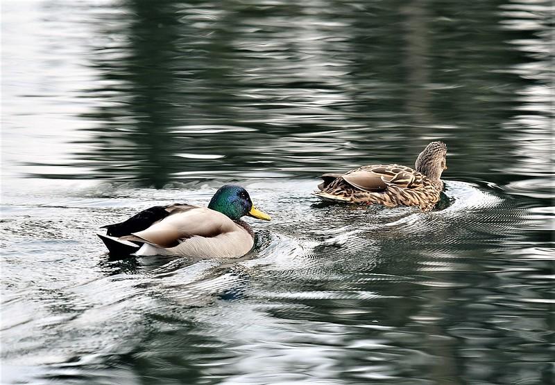 Mallard Ducks 26.02 (9)