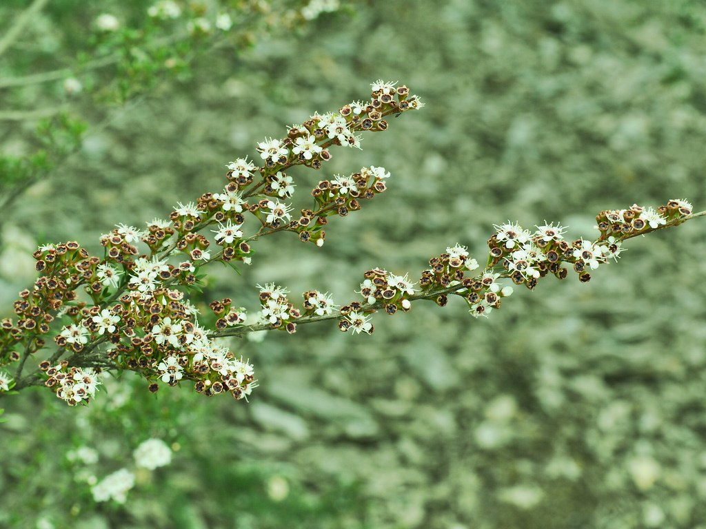 Tiny white flowers on a australian native shrub jane fagan flickr by janeannfag tiny white flowers on a australian native shrub by janeannfag dhlflorist Image collections