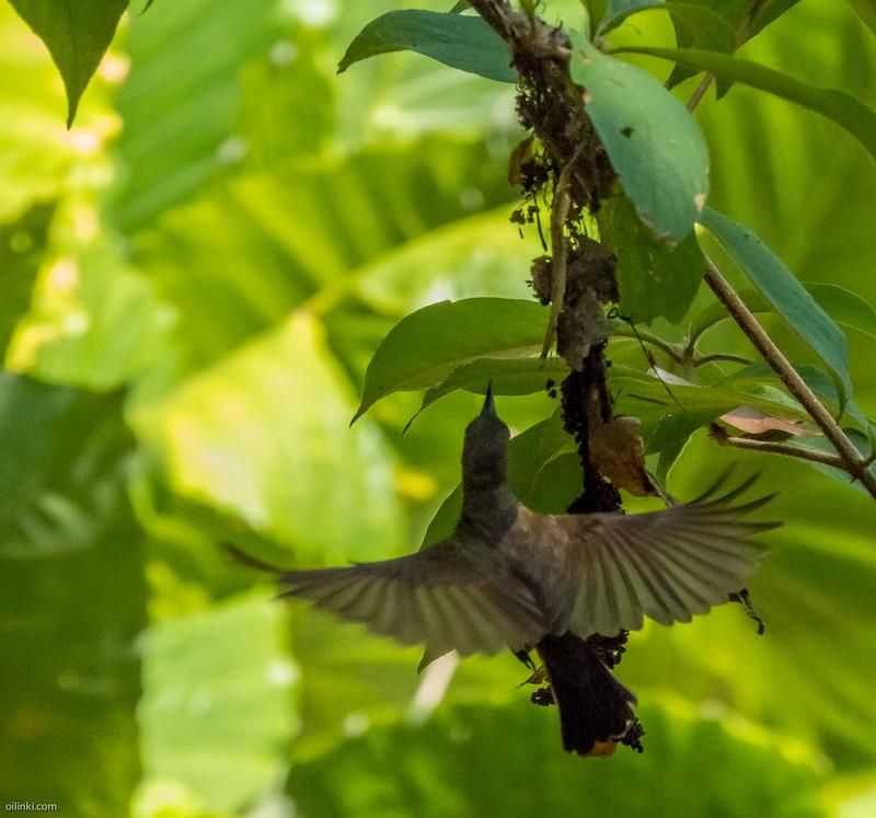 Olive backed sunbird nest making
