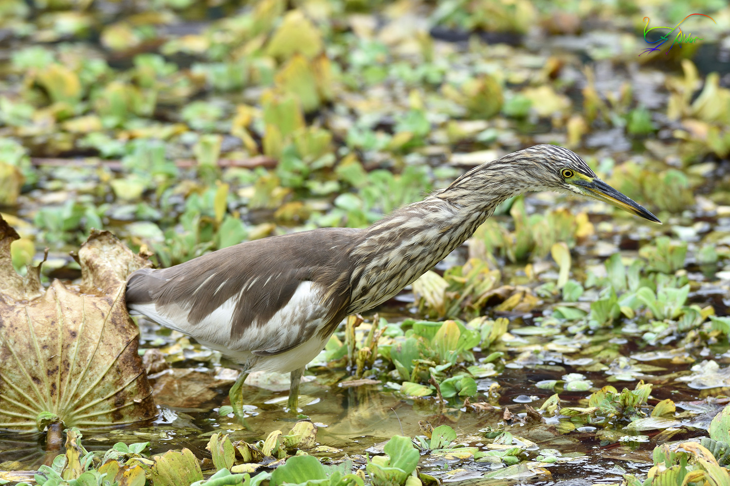 Chinese_Pond_Heron_3428