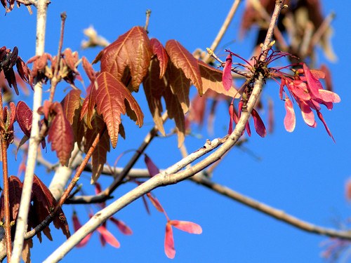 Red Maple leafing out 20170228