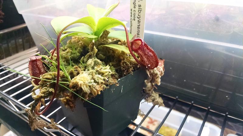 Nepenthes sibuyanensis × talangensis