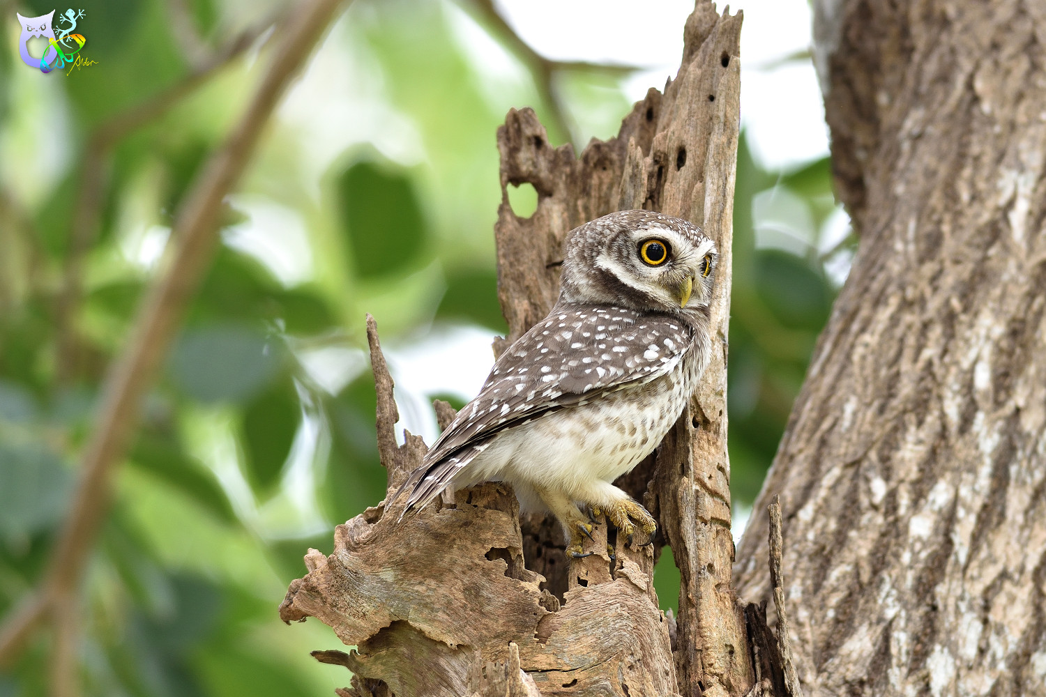 Spotted_Owlet_3214