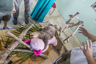 Hoffmann's two-toed sloth Gamboa Wildlife Rescue pandemonio 2017 - 02 | by Eva Blue