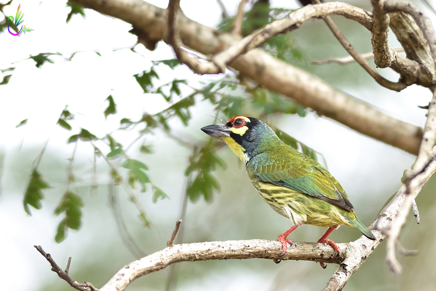 Coppersmith_Barbet_7085