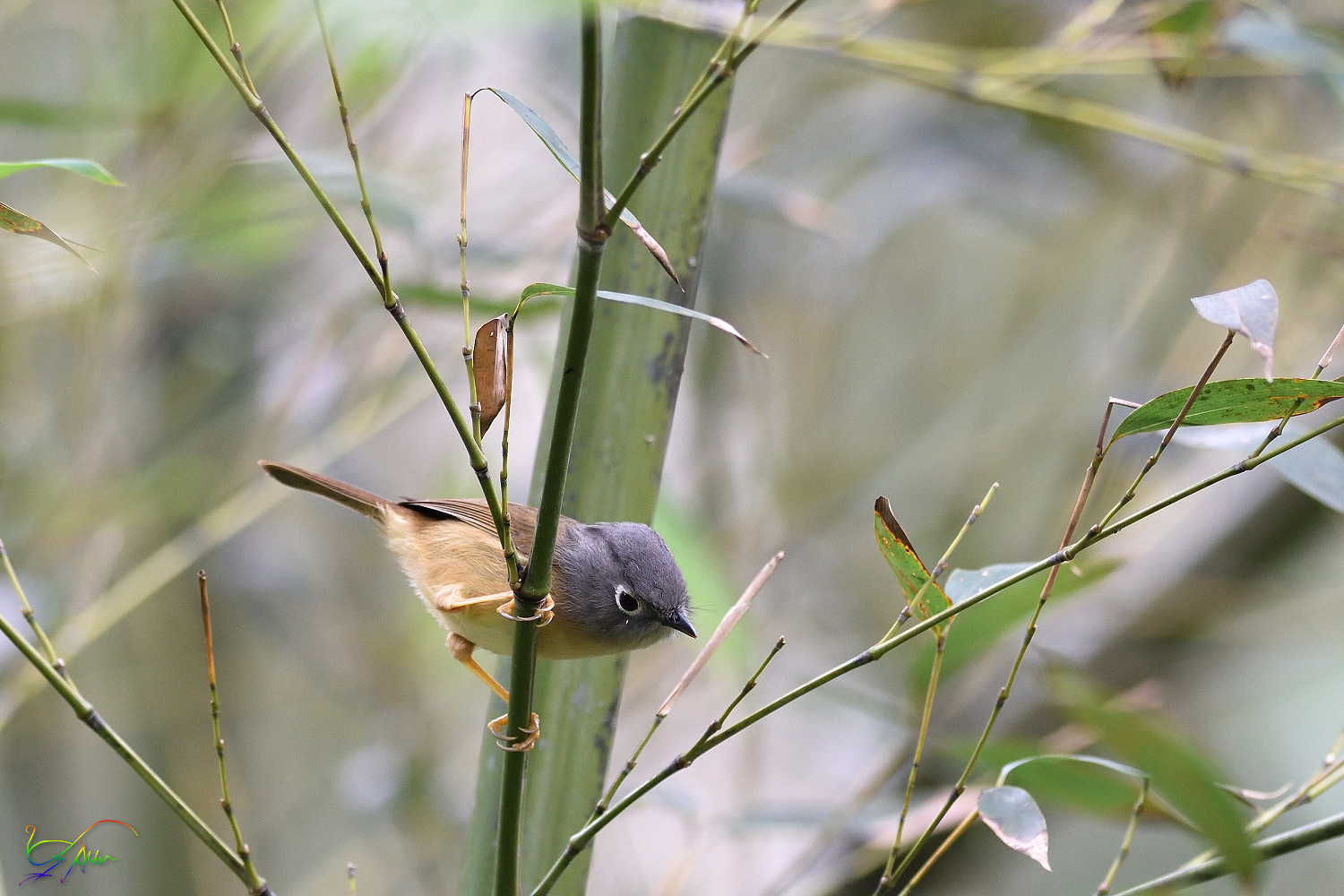 Gray-cheeked_Fulvetta_8032