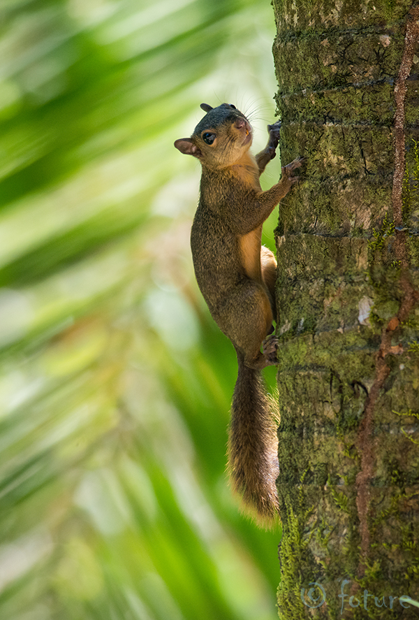Punasaba, orav, Sciurus, granatensis, Red, tailed, squirrel, Caribbean, coast, Costa Rica, Kaido Rummel