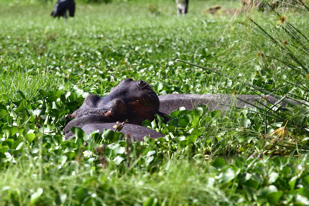 泡在奈瓦夏湖裡的河馬。攝影:鍾坤典。