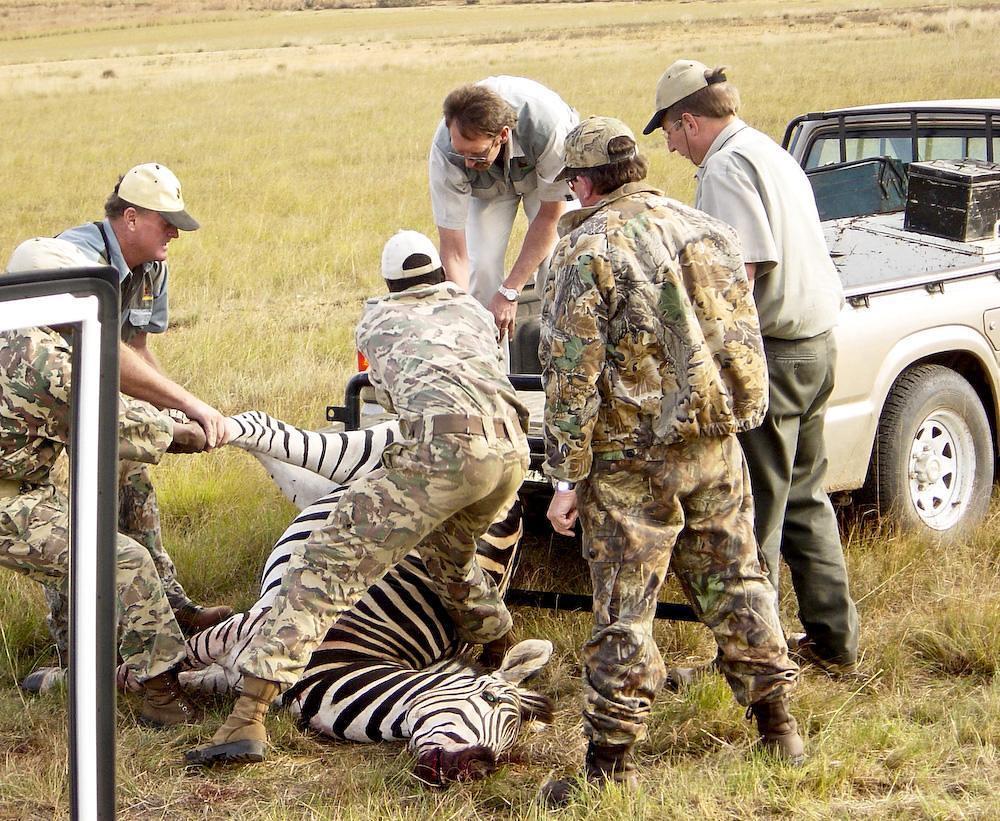 幾名非洲遊獵獵人正想辦法把一隻斑馬搬上車。圖片來源:Lynae Zebest(CC BY-NC-ND 2.0)