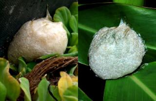 斑腿樹蛙在靜水域旁的植物體上或草叢根部產黃褐色泡沫卵塊,八里有發現藍灰色。楊懿如提供