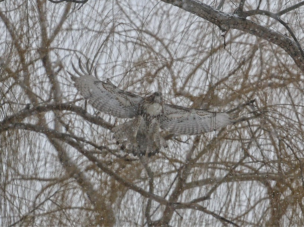 Juvenile red-tail in snow