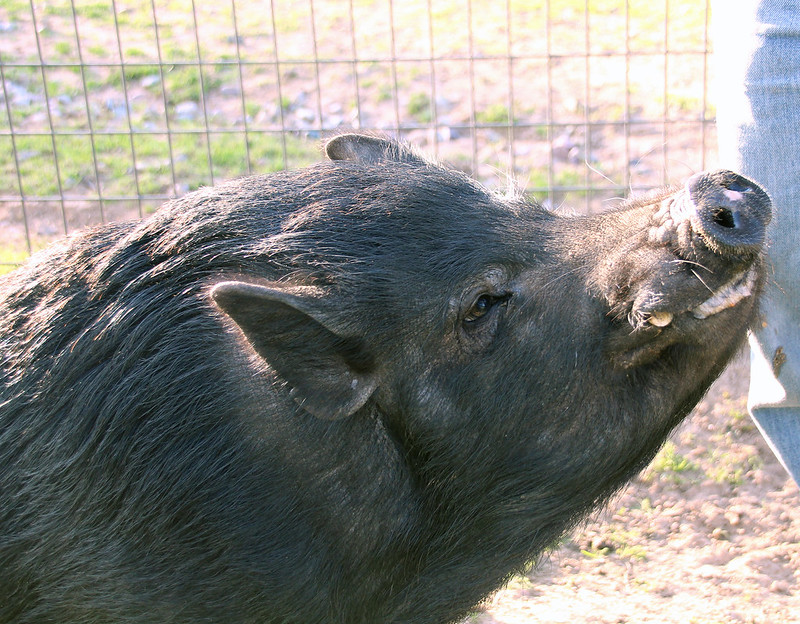 Grazin' Pigs Rescue