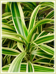 Dracaena reflexa 'Song of India' (Pleomele, Dracaena reflexa variegata, 'Song-of-India', Reflexed Dracaena) displaying its variegated foliage, 6 Nov 2011