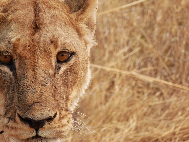 Leona fotografiada en un safari en Botswana