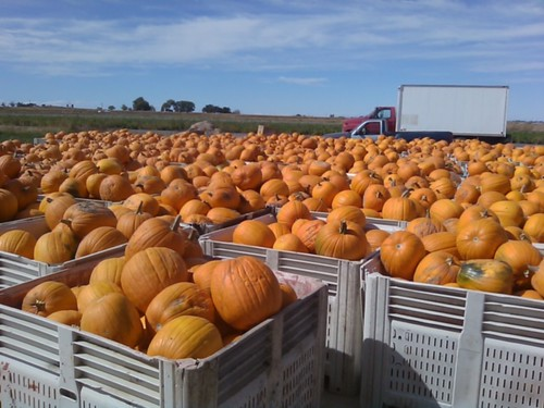 U.S. production of pumpkins rose by over 30 percent from 2000 to 2014, reflecting rising demand for pumpkins destined for both ornamental and food use.  The Economic Research Service has created a special web page on pumpkin background information and statistics.