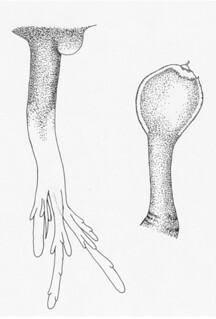 印度樹鬚鮟鱇(Linophryne indica)的下頜鬚發光器(左)跟餌球發光器(右)。圖片提供:何宣慶。