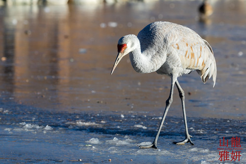 Sandhill Crane on ice | by DragonSpeed