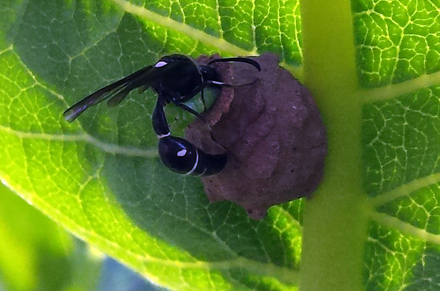 black wasp shoving a green caterpillar into a small mud pot
