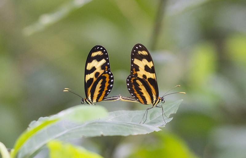 Mariposas Copulando Macrofotografía Comunidad Nikonistas