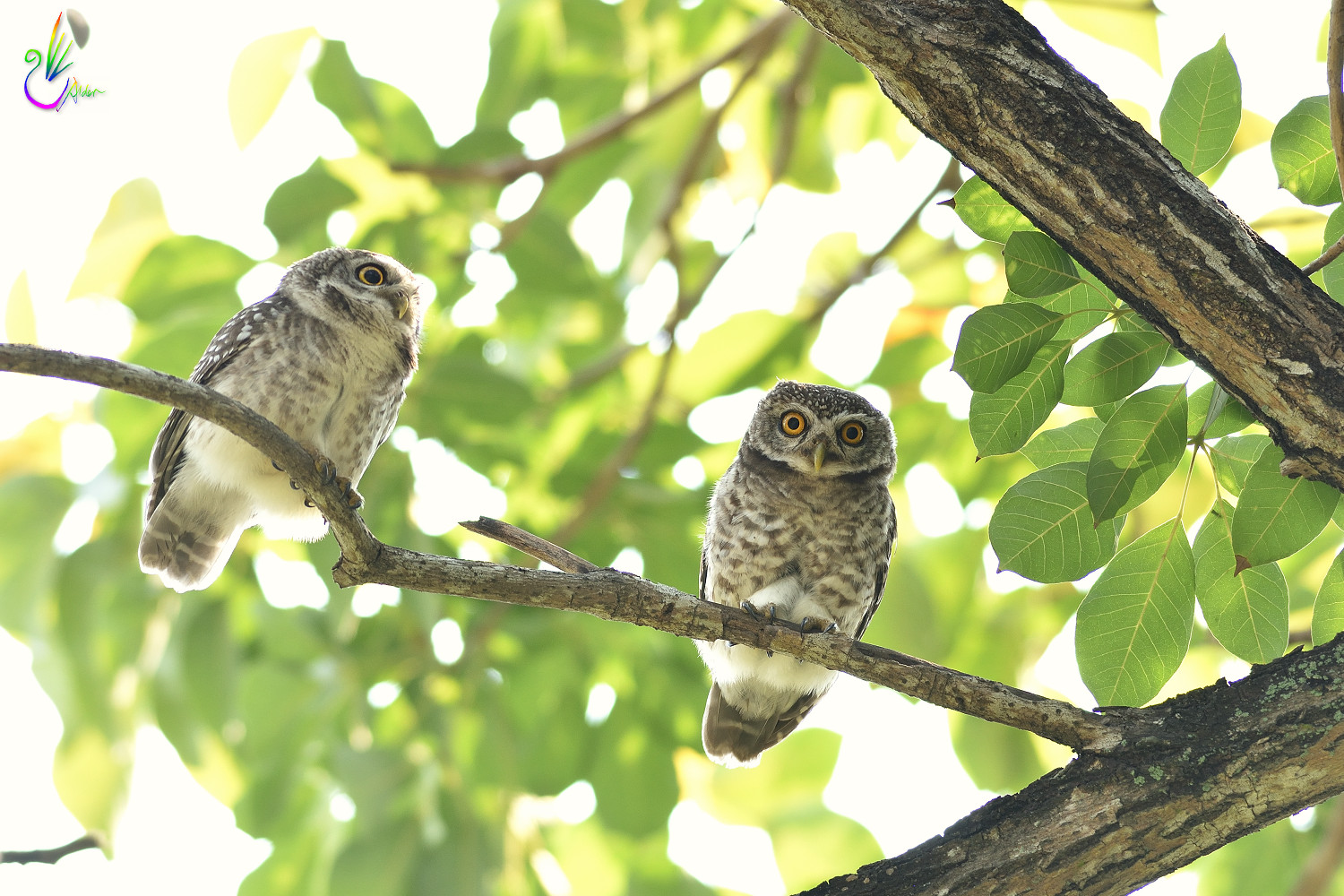 Spotted_Owlet_6819