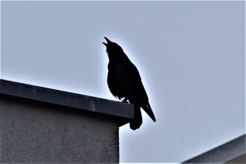 Crow 26.02 (3)