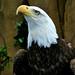 Bald Eagle - 2