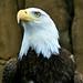 Bald Eagle - 1