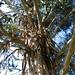 Eucalyptus,  in  Centobuchi, Italy