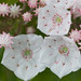 IMG_9601: Mountain Laurel