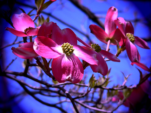 Pink Dogwood | by Mary and her camera