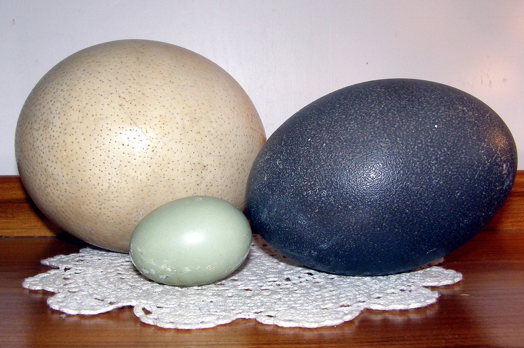 Kiwi egg vs ostrich egg - photo#13
