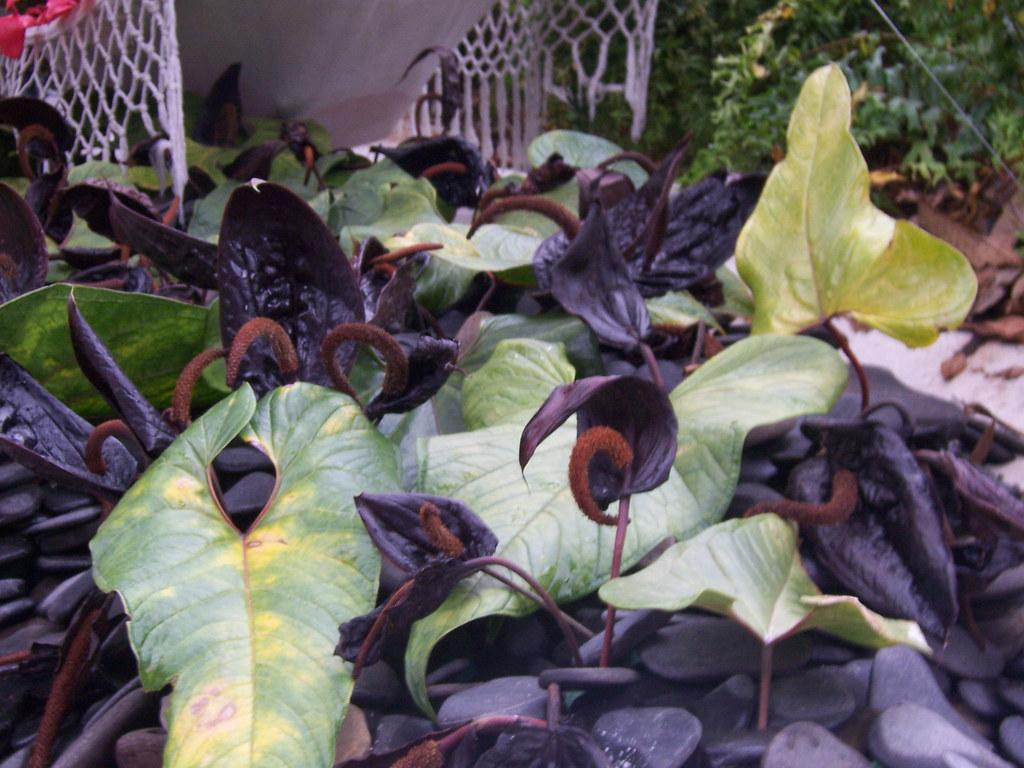 Anturios negros exposicion orquideas pajaros y flores for Jardines de anturios