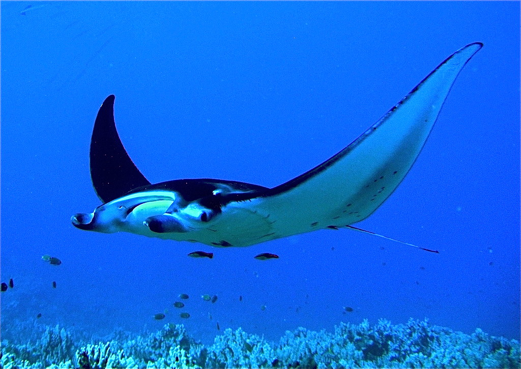 manta ray manta alfredi in hawaii a manta ray cruising o flickr. Black Bedroom Furniture Sets. Home Design Ideas