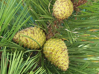 New Pine Cones Horseneck | by Palm Springs Dave