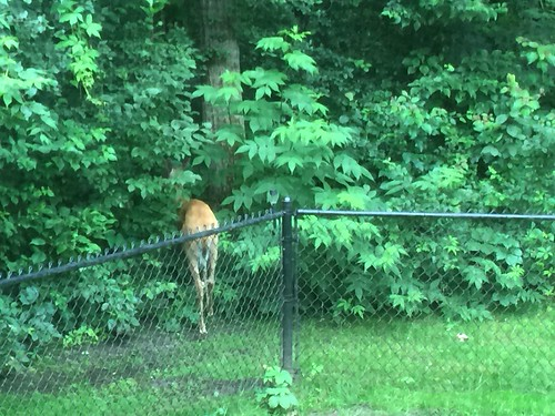 Deer Butt, In Our Backyard | by helmblogger