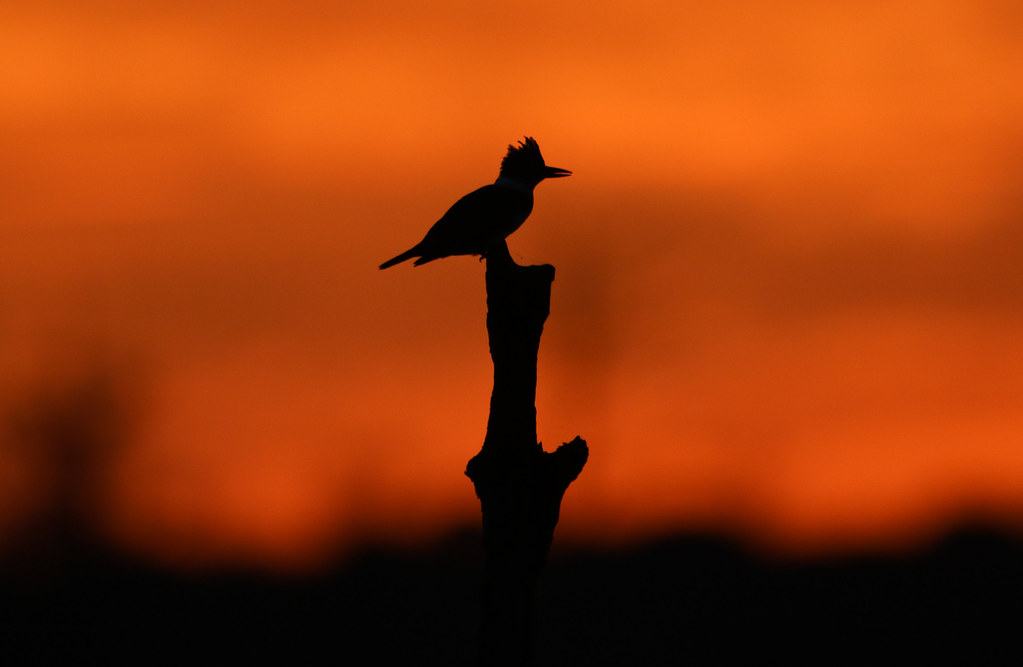 sunrise silhouette of a belted kingfisher by rivadock4
