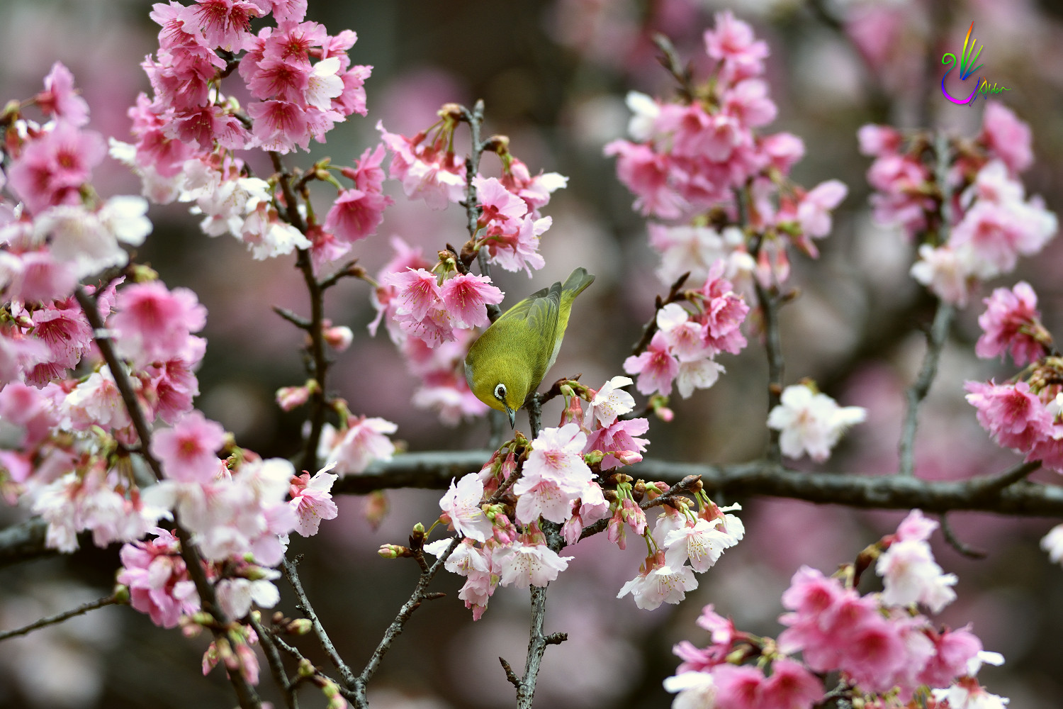 Sakura_White-eye_0758