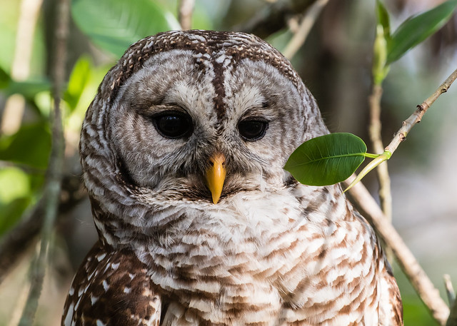 Barred Owl 091_1987