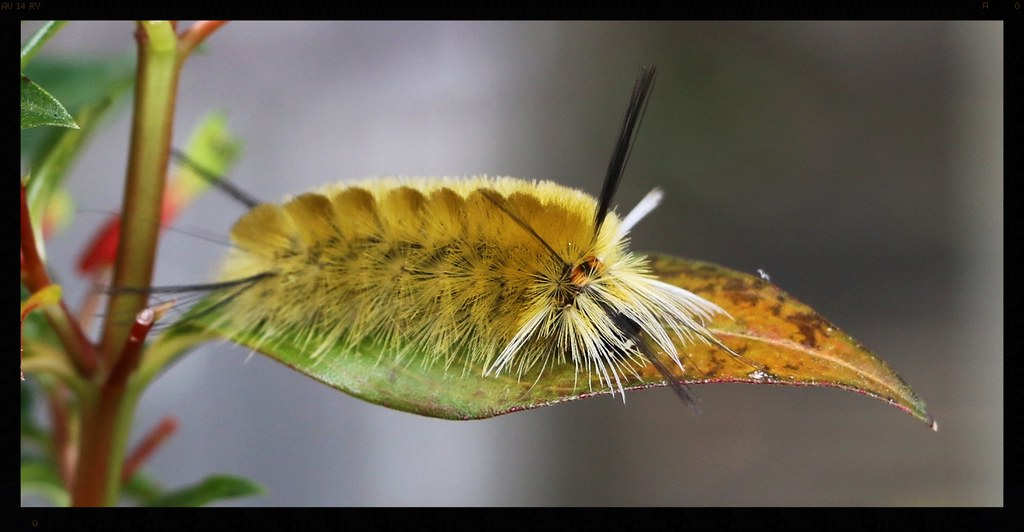 halisidote du pommier chenille banded tussock moth cate flickr. Black Bedroom Furniture Sets. Home Design Ideas