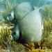 gray angelfish  key west sailing adventure vacation activity