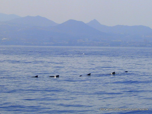 Pilot whales off the coast of Tenerife