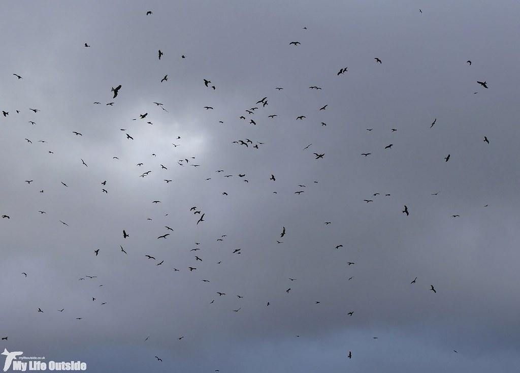 P1060434 - Red Kites, Nant y Arian