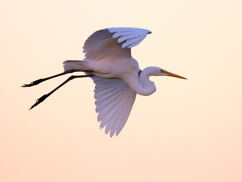 Great Egret in flight 01-20170212