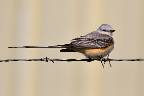 FL: Scissor-tailed Flycatcher Keeps Things Level