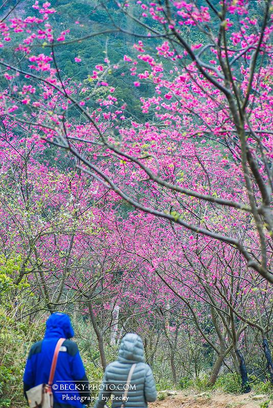 2017.Feb sakura @Taipei 三峽櫻花熊空