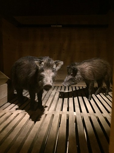 Pig-like animals, Ark Encounter